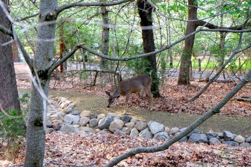 camp-curry-deer