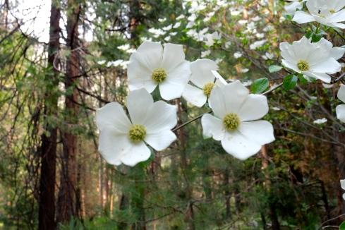 dogwood-blossom-camp-curry