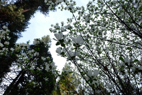 dogwood-blossoms-spring