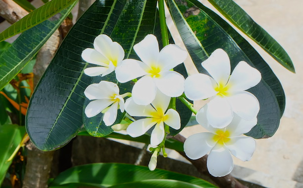 gardenia - phi phi