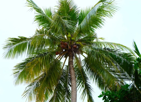 palm tree - coconuts