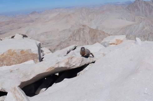 Mount-Whitney-marmot
